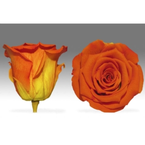 Roses4ever BIC-03 XL,  kwiat